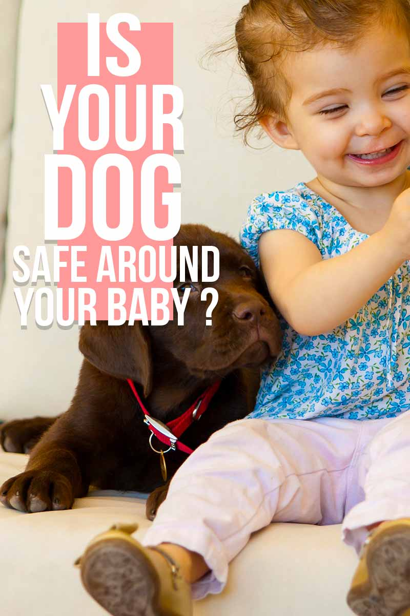 Is your dog safe around your baby ? - Advice on dog behaviour from The Labrador Site.