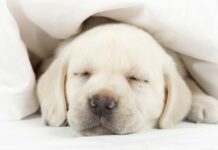 Puppy Crying - Tips For Settling New Puppies At Night Or In A Crate