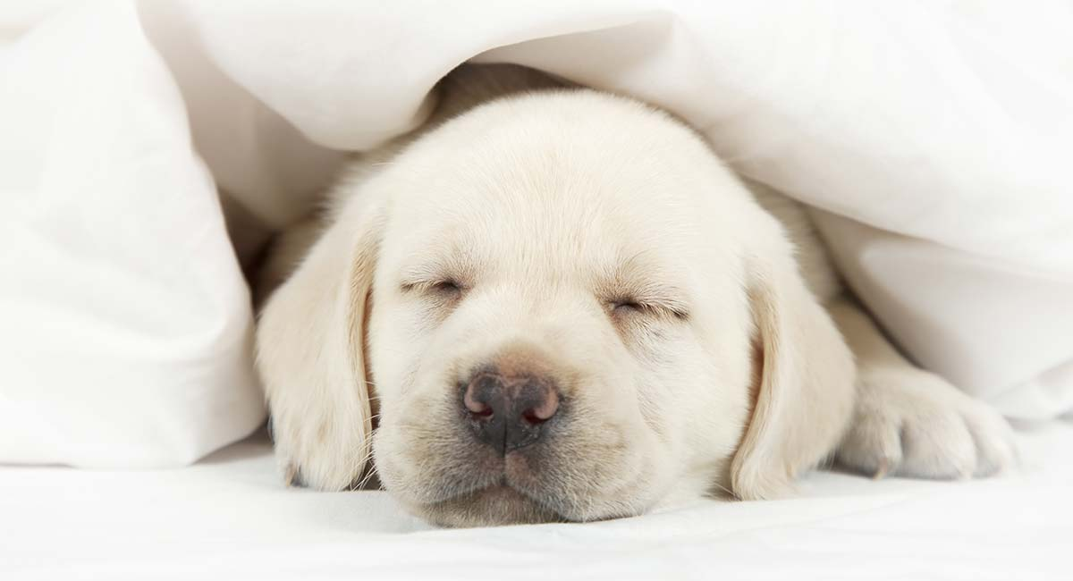 Puppy Crying Tips For Settling New Puppies At Night Or In A Crate