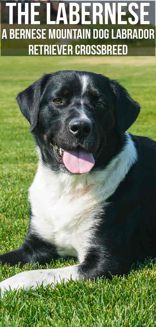 The Labernese- A Bernese Mountain Dog Labrador Retriever Crossbreed