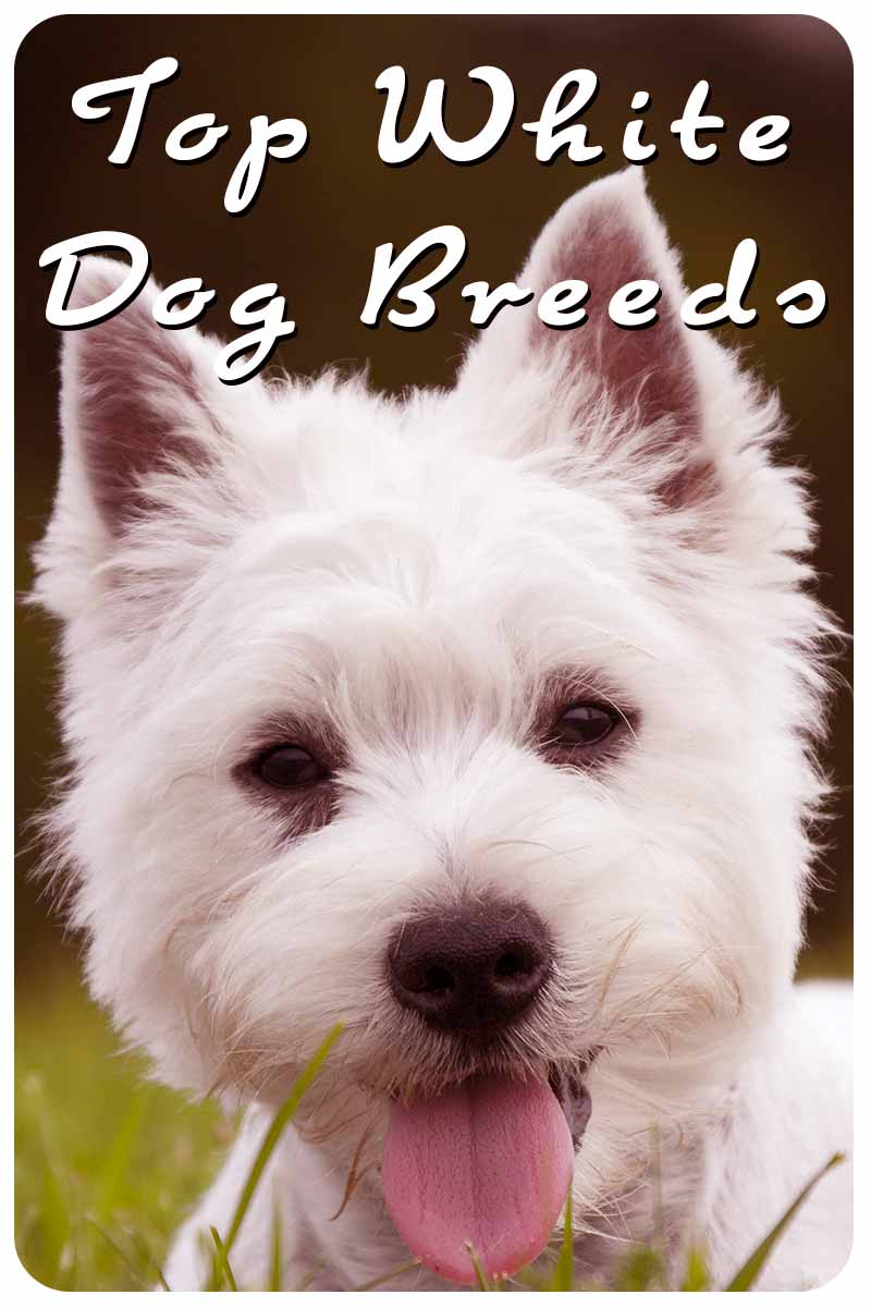 Top White Dog Breeds - Breed reviews, plus facts and fun.