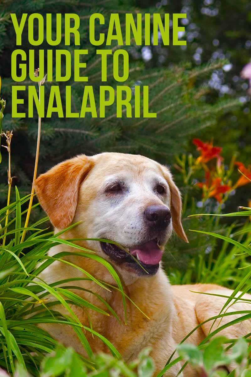 Your canine guide to Enalapril - Dog health & care information from The Labrador Site.
