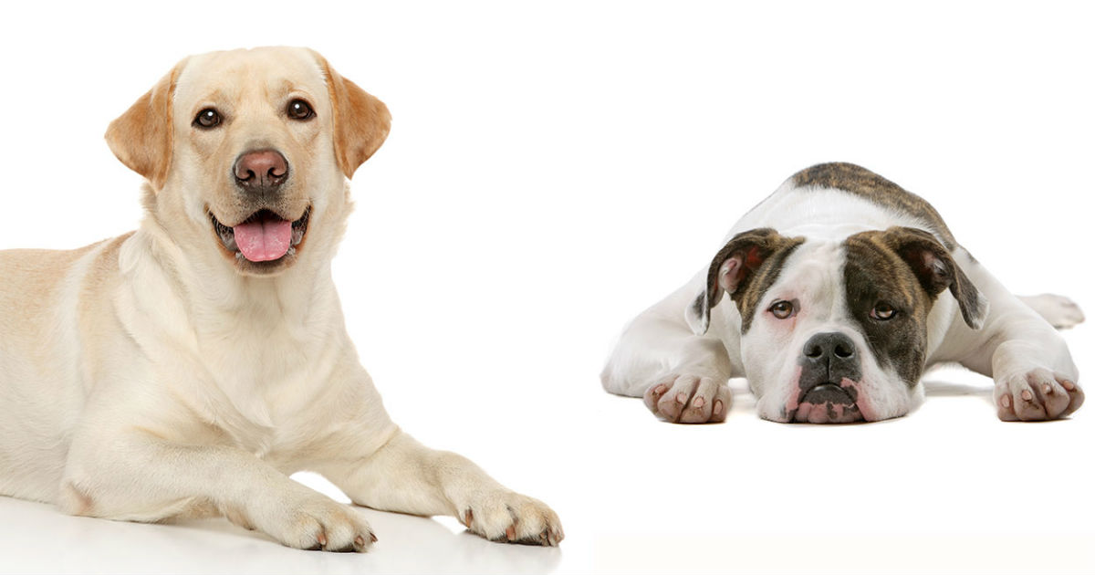 What to know about Bulladors, Labrabulls, American bulldog