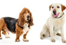 basset hound lab mix
