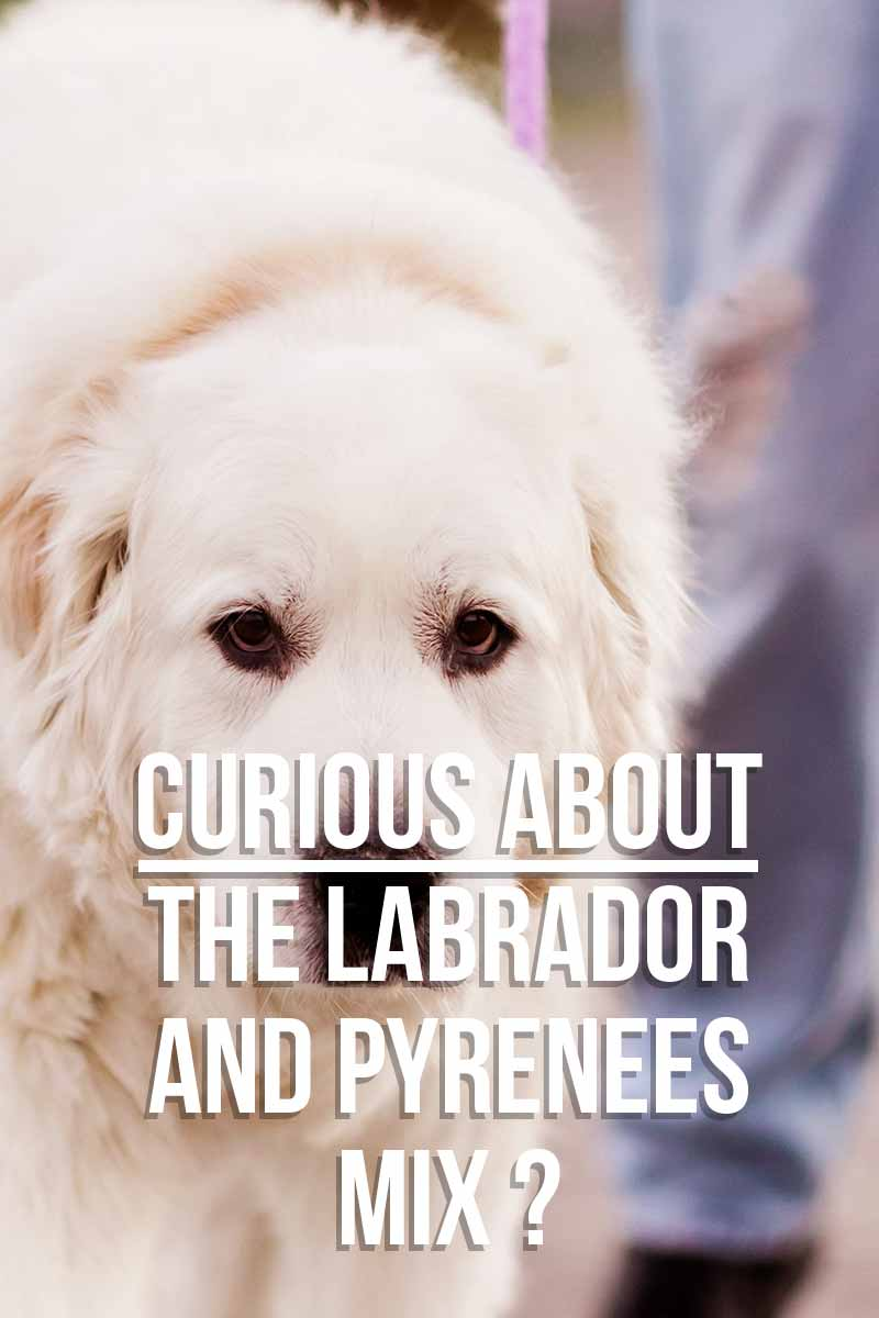 Curious about the Lab and Pyrenees Mix? - Mixed breed dog reviews from TheLabradorSite.com