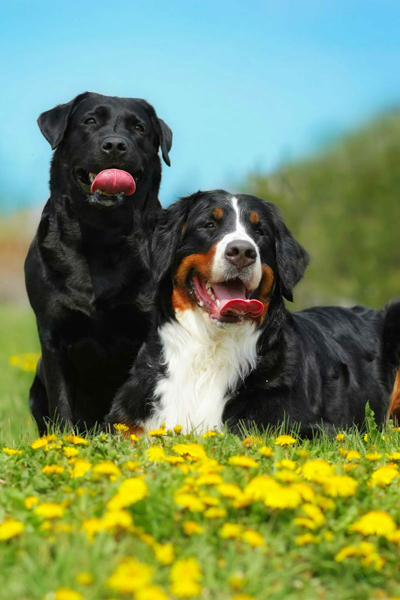 Labernese A Complete Guide To The Labrador Retriever