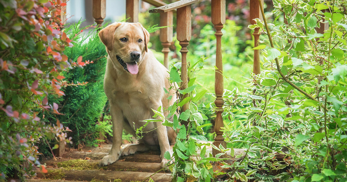 Is Meloxicam For Dogs The Best Treatment - What To Look Out For