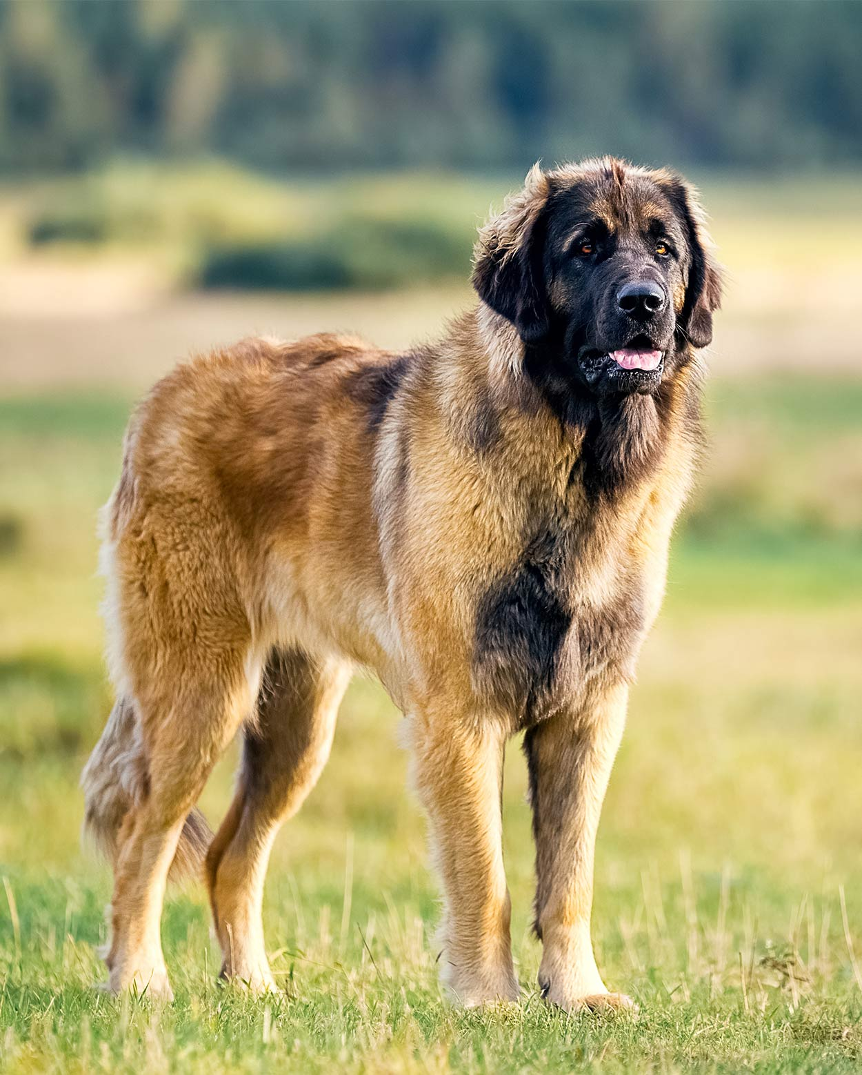Mountain Dog Breeds The Massive Pup That Could Be Your New Pet
