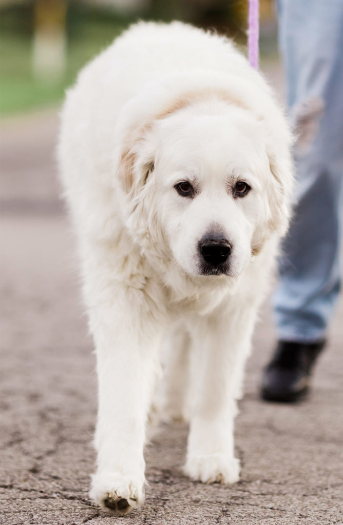 Great Pyrenees Labrador mix