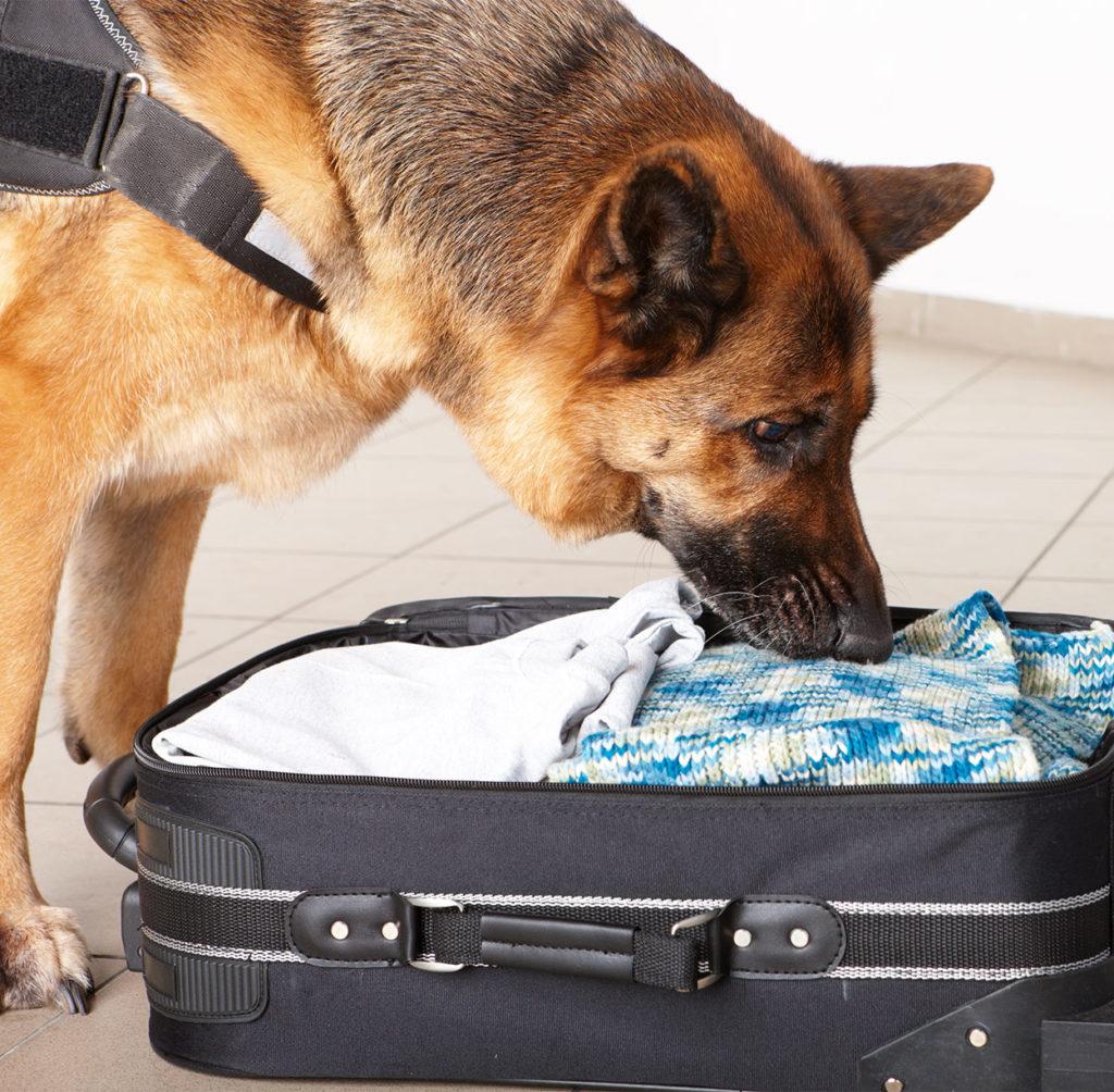 sniffer dog breeds