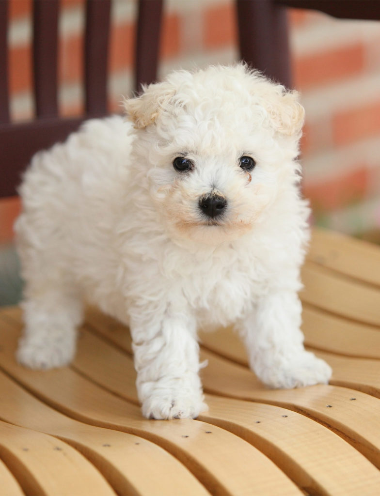Curly Small White Dog Breeds Fluffy - Dogs Of Days Summer
