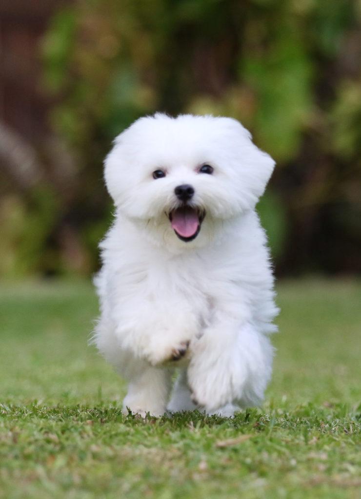 White dogs - Maltese