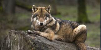 wolf-vs-dog