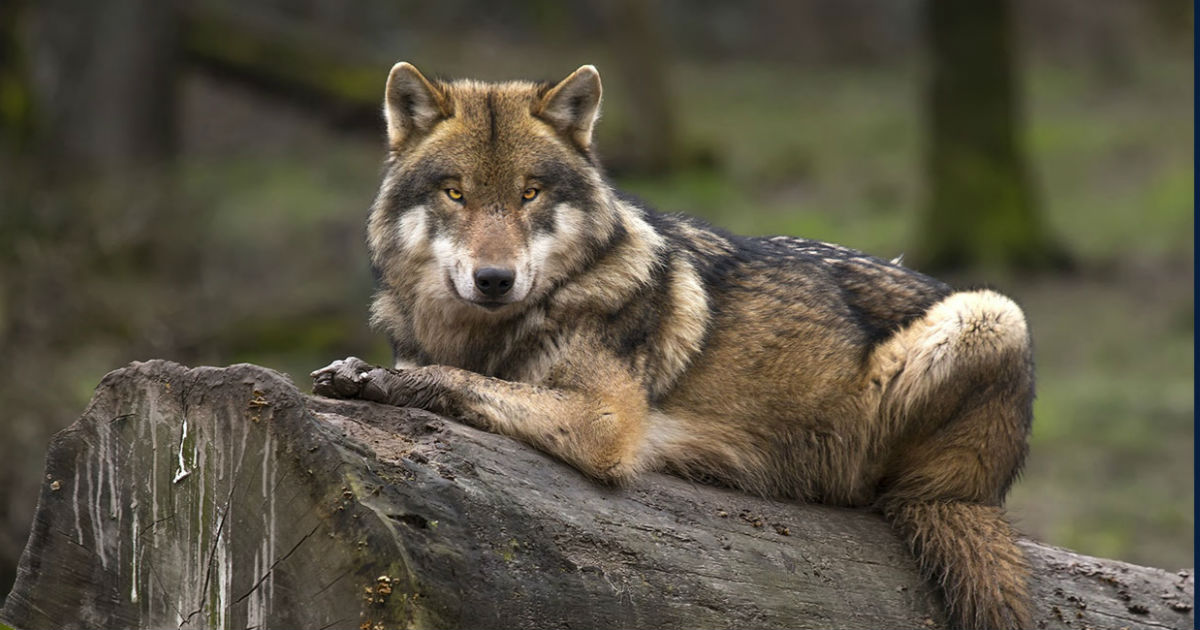 Wolf vs Dog - Are wolves and dogs similar and can they breed?