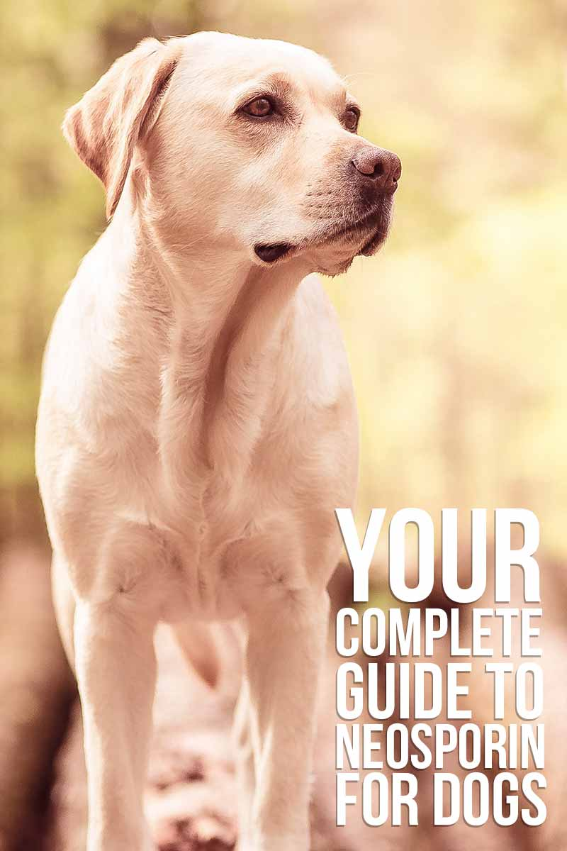 Your complete guide to Neosporin for dogs - Dog health & care advice from The Labrador Site.