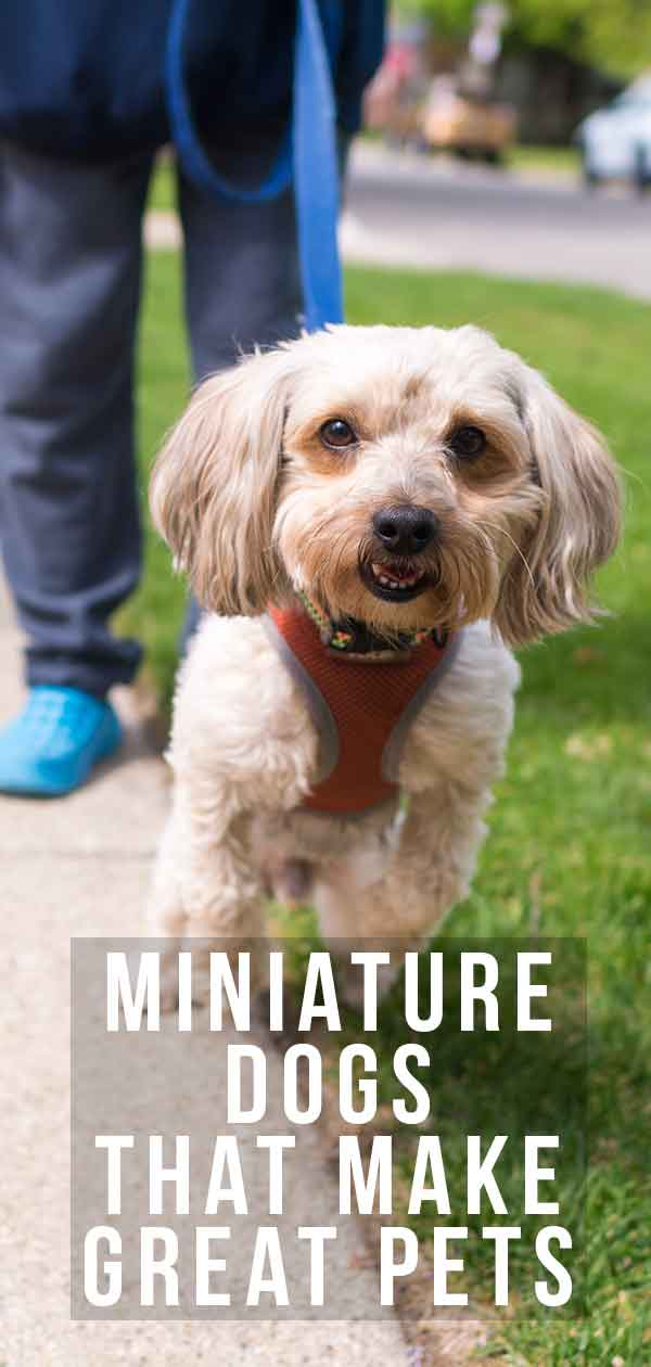 Miniature Dogs That Make Great Pets