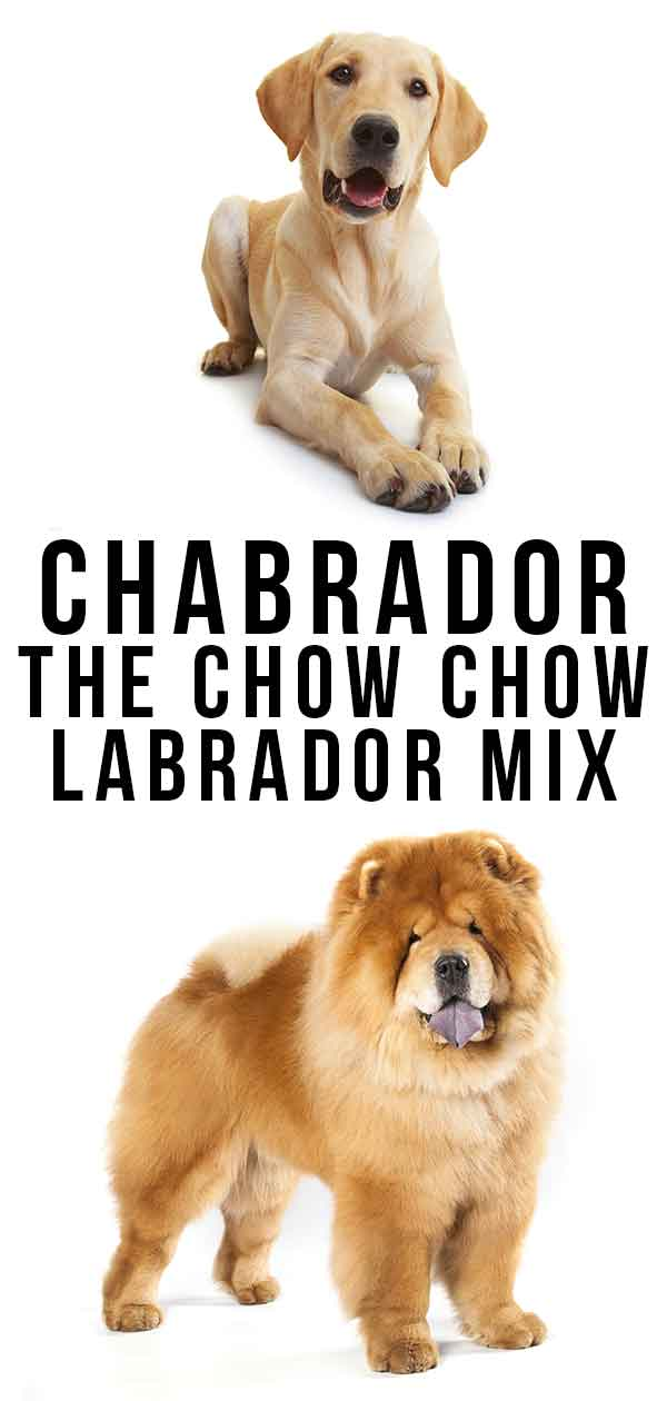Chabrador – The Chow Chow Labrador Mix