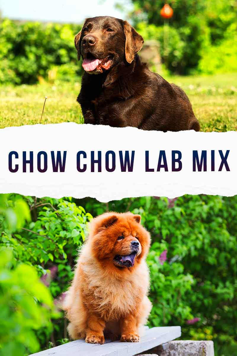 chow chow lab mix