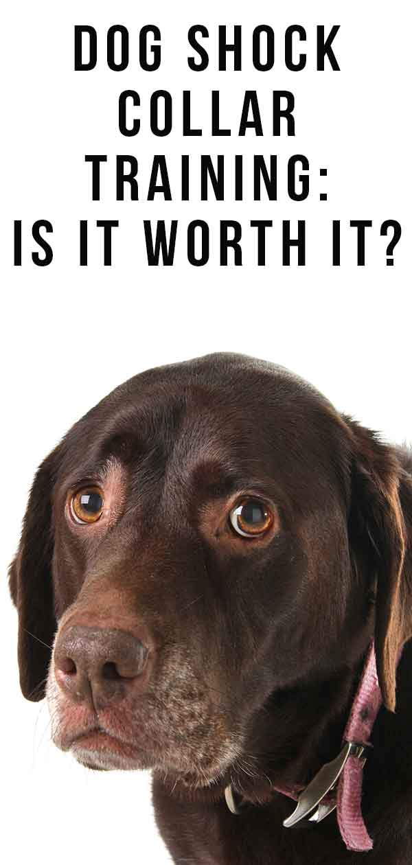 Dog Shock Collar Training- Is It Worth It?