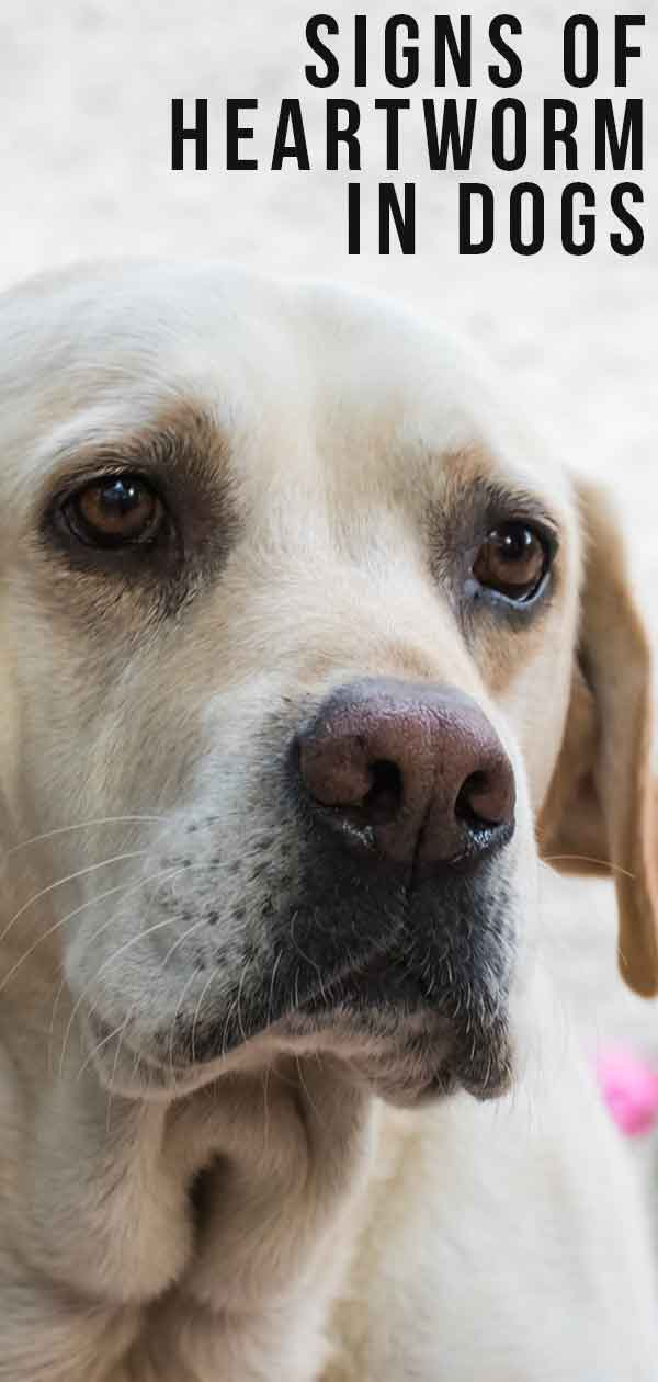 Signs Of Heartworm In Dogs And How To Spot Them