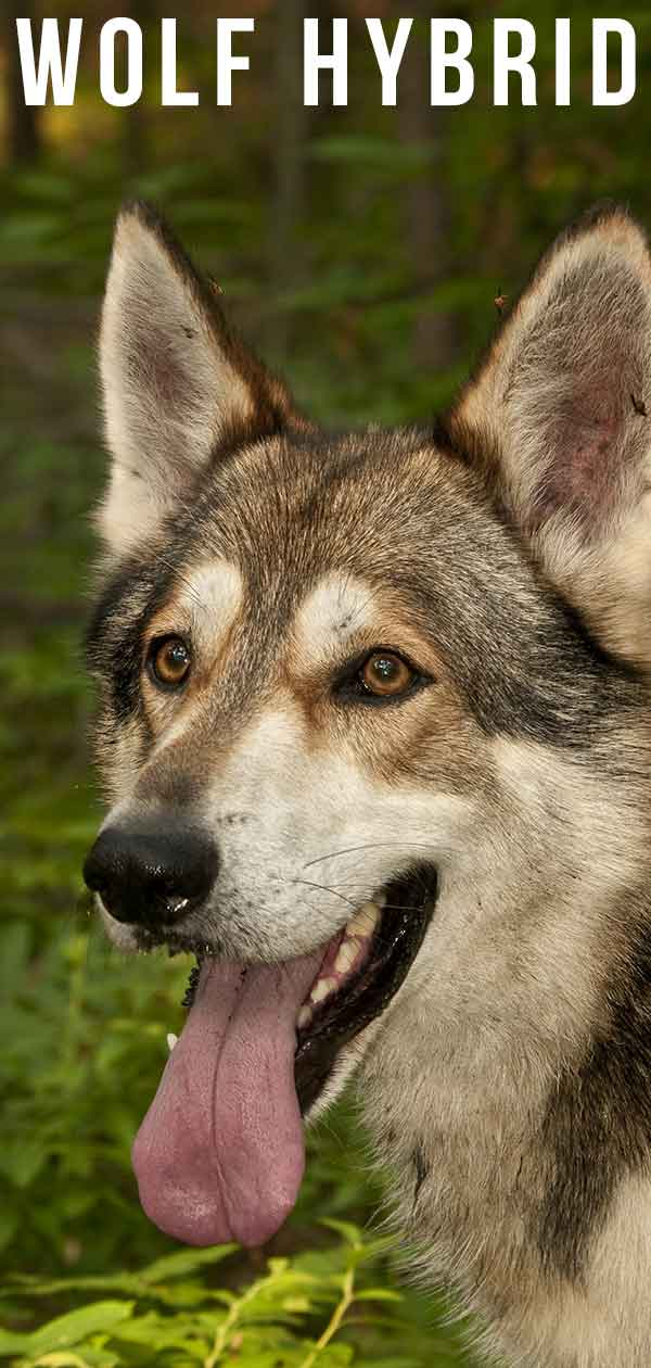 Wolf Hybrid: When You Mix a Wild Wolf with a Domestic Dog