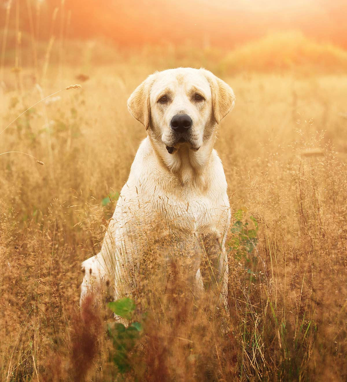 42184c52 Yellow Lab names - 250 Awesome Ideas For Naming Your Pup