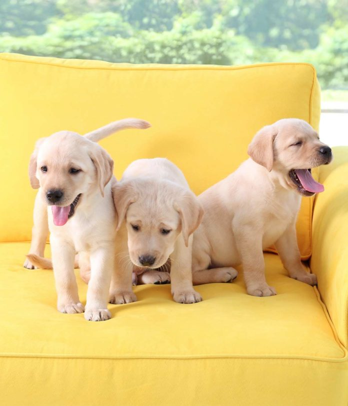 yellow Lab names