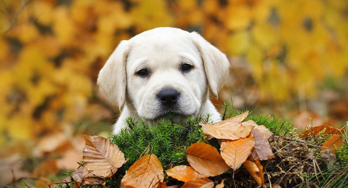 Yellow Lab Names 250 Awesome Ideas For Naming Your Pup