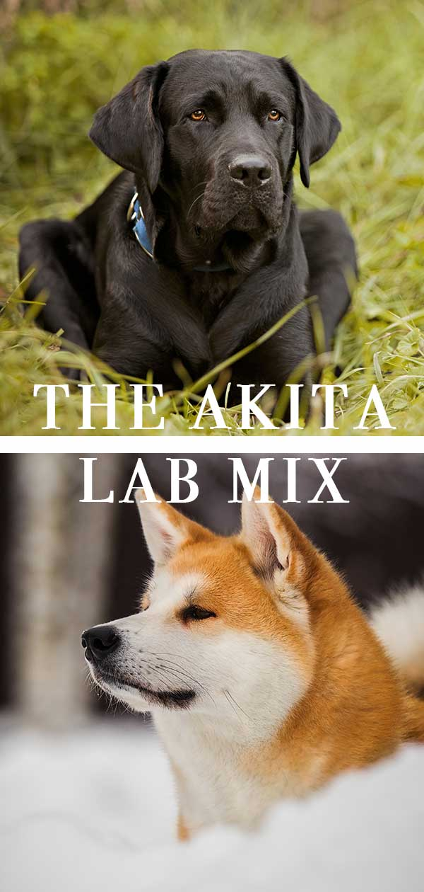 akita lab mix