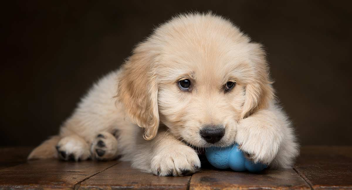 Dog Chewing Paws – Why He's Doing it and How to Stop Him