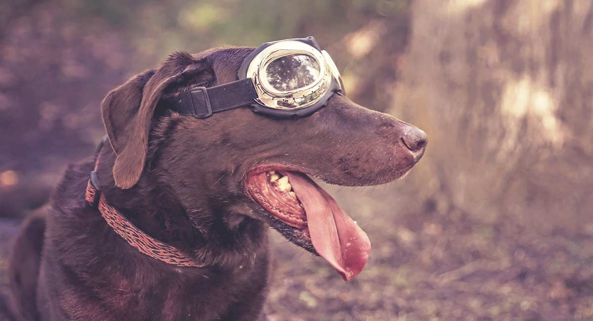 c9c2bc1ffaaf2 Best Dog Goggles for Keeping Their Eyes Safe (Or Just Looking Cool)