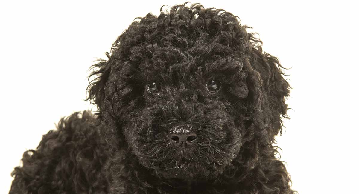 Black Labradoodle Fun Facts About The Dark Coated Curly Cross