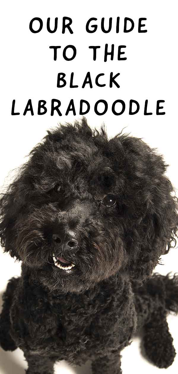 Black Labradoodle: Fun Facts About the Dark Coated Curly Cross