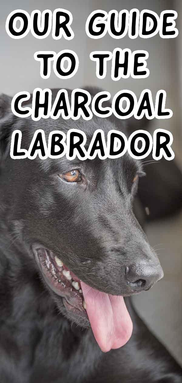 charcoal lab