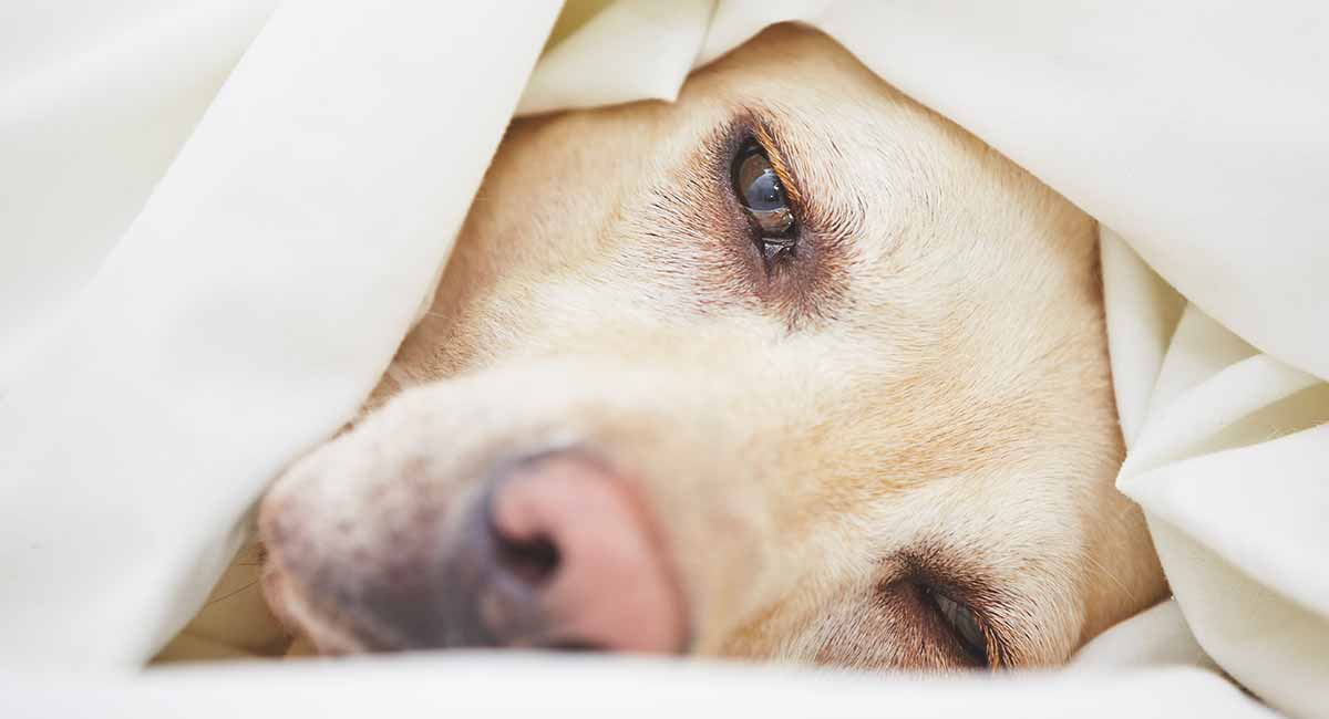 Signs Of Cancer In Dogs A Vet S Guide To The Symptoms Of Canine Cancer