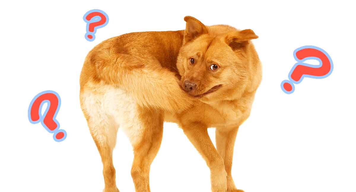Why Do Dogs Chase Their Tails The Hidden Meanings Behind The Fun