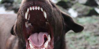 are labradors aggressive