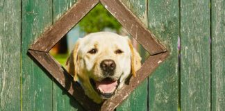 are labs good guard dogs
