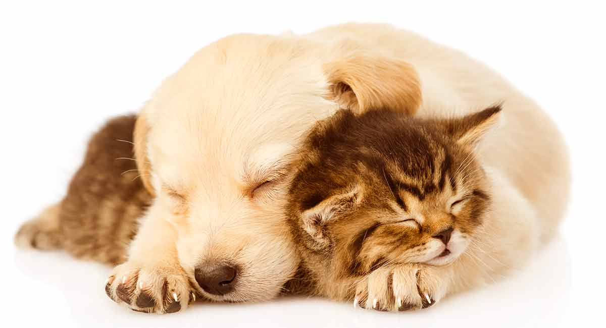 Best Dog For Cats Which Breeds Are Least Likely To Chase Your Cat