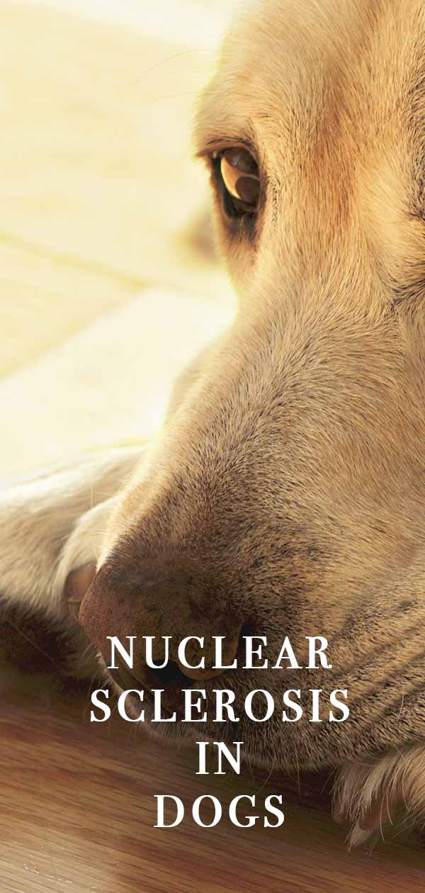 nuclear sclerosis in dogs