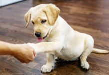 When to Start Training a Lab Puppy