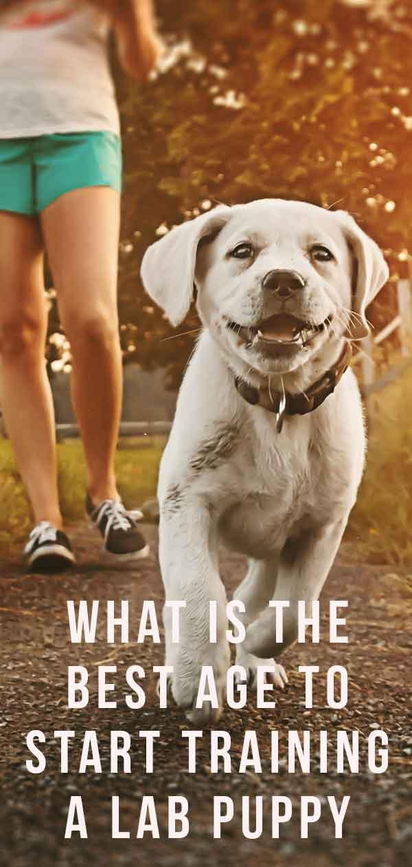 When to Start Training a Lab Puppy