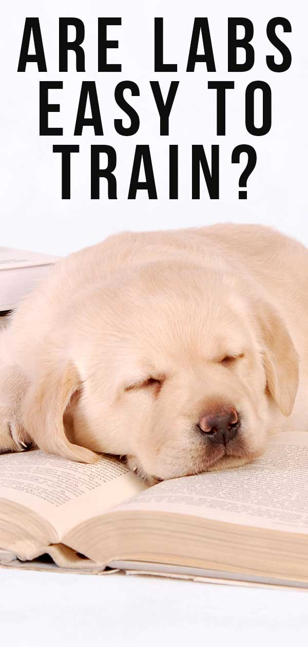 Are Labs Easy to Train or Can They Be A Challenge?