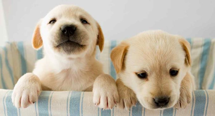 how can i get a labrador puppy