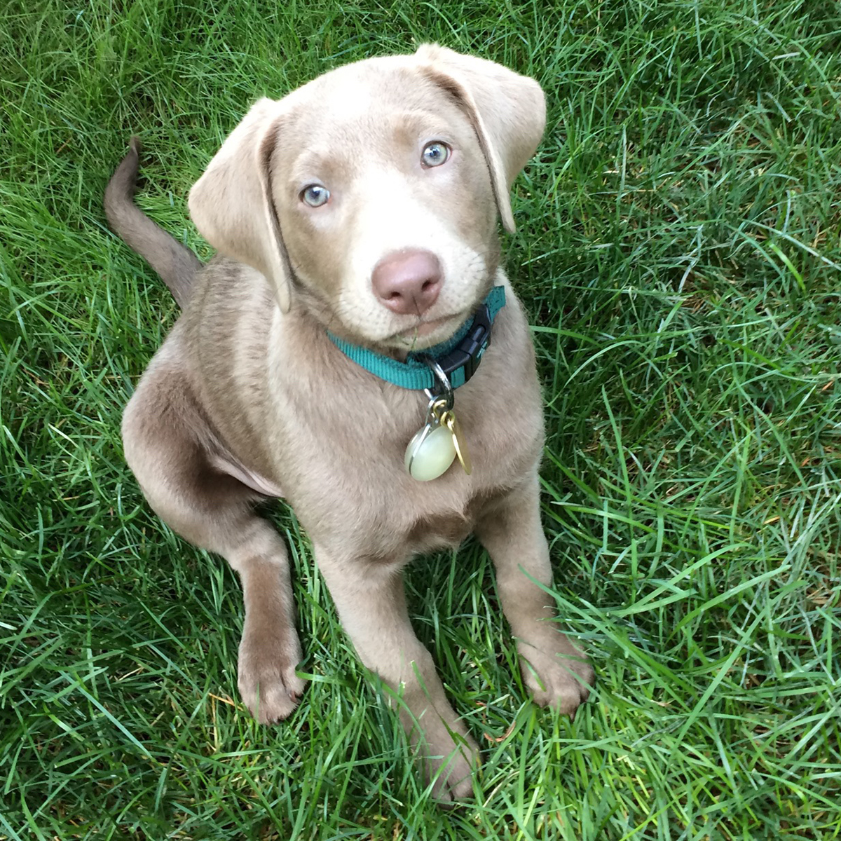 12 week old silver lab puppy