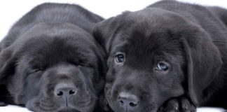 Black Lab - A Complete Guide to the Black Labrador Retriever