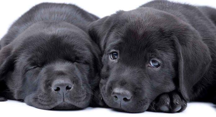 Black Lab - A Complete Guide to the Black Labrador Retriever
