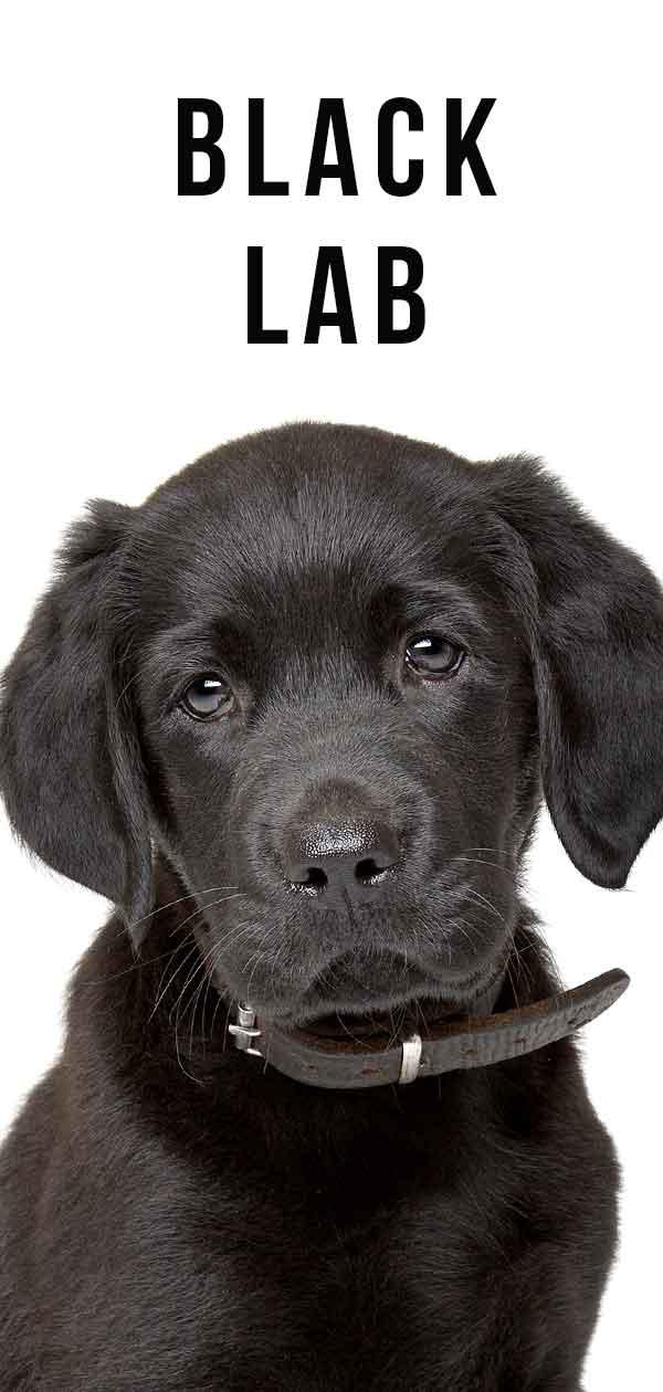 A Complete Guide to the Black Labrador Retriever