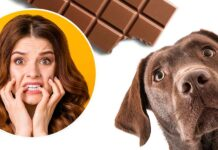 dog ate chocolate