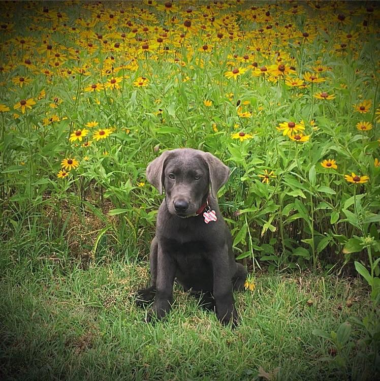 silver lab puppy 16 weeks old
